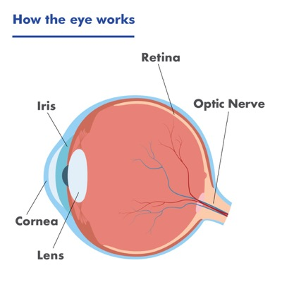 A diagram of the eye showing the iris, cornea, lens, retina and optic nerve.
