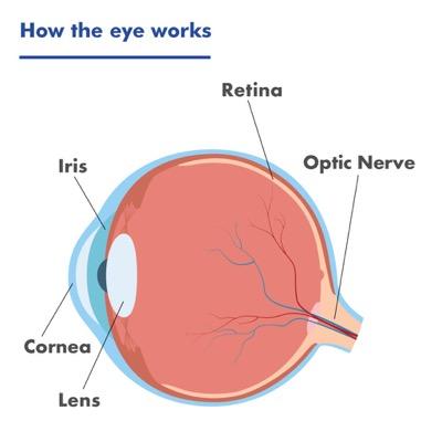 A diagram of the eye showing the iris, cornea, lens, retina and optic nerve.